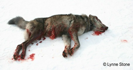 2013-12-23-wolfgutshotlynnestonecropped-thumb1717949802.jpg
